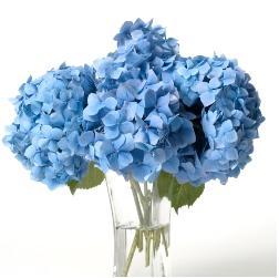 Blue Hydrangea 1_JPG